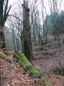 De væltede træstammer er bolig for et væld af forskellige insekter, svampe og mosser