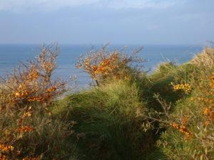 Havtorn - en karakterplante fra kysterne.