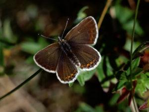 Findes som det eneste sted i Danmark i grønsværsklitterne fra Nørlev til Skiveren. Arten er kritisk truet i Danmark.