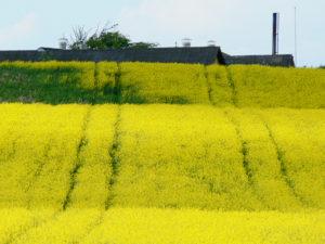 FOTO 33: Landbrug og rapsmark